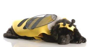 Perro vestido para arriba como una abeja Imagen de archivo libre de regalías