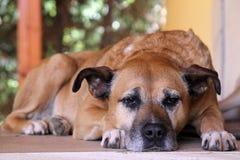 Perro viejo Foto de archivo libre de regalías