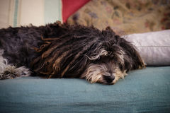 Perro viejo Imagen de archivo libre de regalías