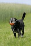 Perro viejo con dogtoy Fotos de archivo