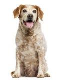 Perro viejo de Bretaña con los quistes del ojo, jadeando, 12 años Foto de archivo libre de regalías
