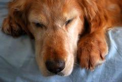 Perro viejo el dormir Imágenes de archivo libres de regalías
