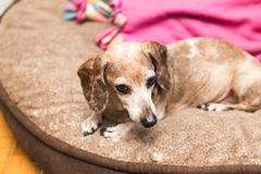 Perro viejo en cama foto de archivo libre de regalías