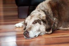 Perro viejo que descansa dentro Fotos de archivo