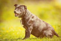 Perro viejo que se sienta en sol Fotografía de archivo