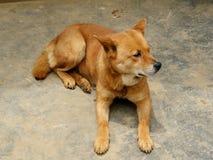 Perro vietnamita Fotos de archivo libres de regalías