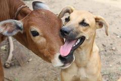 Perro y becerro Fotos de archivo