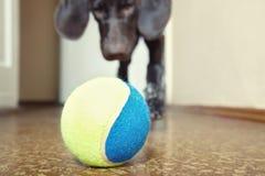 Perro y bola Fotografía de archivo