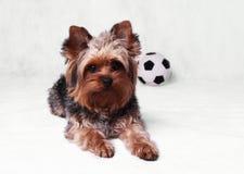 Perro y bola Fotos de archivo