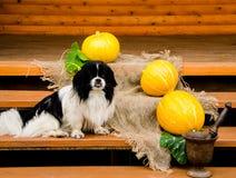 Perro y calabazas Imagen de archivo