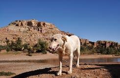 Perro y casbah blancos AIT Benhaddou Imágenes de archivo libres de regalías