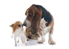 Perro y chihuahua de afloramiento Foto de archivo libre de regalías