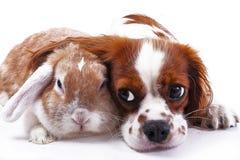 Perro y conejo junto Amigos animales Vivos reales del satén del rex del zorro blanco del animal doméstico del conejito del conejo Imagen de archivo libre de regalías
