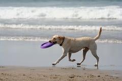 Perro y disco Imágenes de archivo libres de regalías
