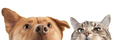 Perro y gato ascendentes y cercanos en la cámara Imagen de archivo