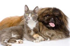 Perro y gato del pekinés junto Aislado en el fondo blanco Imagen de archivo libre de regalías