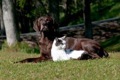 Perro y gato del puntero Foto de archivo