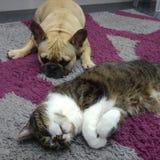 Perro y gato en la alfombra Imagen de archivo libre de regalías