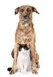 Perro y gato que se sientan en frente Aislado en el fondo blanco Fotos de archivo