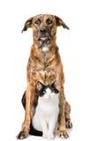 Perro y gato que se sientan en frente Aislado en el fondo blanco foto de archivo