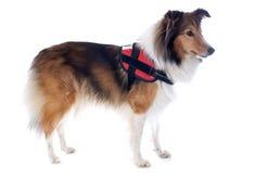 Perro y harness de Shetland Fotos de archivo libres de regalías