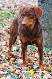 Perro y hojas de otoño Foto de archivo