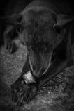 Perro y hueso Imagen de archivo