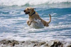 Perro y océano de oro Imagen de archivo libre de regalías