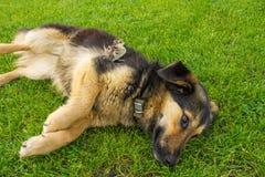 Perro y pájaro Polluelo del faisán que se sienta en un perro Amistad entre los animales imagen de archivo