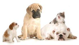 Perro y pelea de gatos Fotografía de archivo