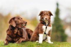 Perro y perrito adultos Foto de archivo libre de regalías