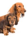 Perro y perrito del Dachshund fotos de archivo