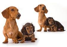 Perro y perrito del Dachshund Imágenes de archivo libres de regalías