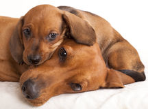 Perro y perrito del Dachshund Imagenes de archivo