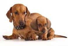 Perro y perrito del Dachshund Imagen de archivo libre de regalías