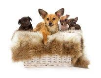 Perro y perritos cruzados de la chihuahua Imágenes de archivo libres de regalías