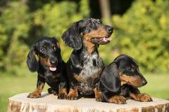 Perro y perritos de la perra fotografía de archivo libre de regalías