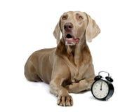 Perro y reloj de alarma Foto de archivo libre de regalías