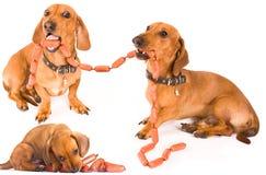 Perro y salchichas del Dachshund fotografía de archivo libre de regalías
