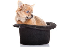 Perro y sombrero clásico aislados en el fondo blanco Fotografía de archivo libre de regalías