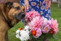 Perro y un manojo de flores del otoño, pastor del perro cerca de ramos de aspiraciones del otoño imagen de archivo libre de regalías