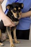 Perro y veterinario Fotografía de archivo