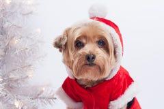 Perro Yorkshire Terrior del día de fiesta de la Navidad Foto de archivo