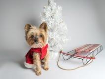 Perro Yorkshire Terrior del día de fiesta de la Navidad Fotografía de archivo