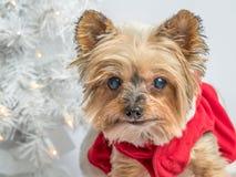 Perro Yorkshire Terrior del día de fiesta de la Navidad Imagen de archivo libre de regalías