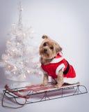 Perro Yorkshire Terrior del día de fiesta de la Navidad en el trineo rojo Foto de archivo libre de regalías