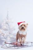 Perro Yorkshire Terrior del día de fiesta de la Navidad en el trineo rojo Fotografía de archivo libre de regalías