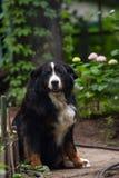 Perro, zennenhun de Bernese en la yarda Imágenes de archivo libres de regalías