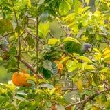 Perroquet à col rouge dominicain mangeant du fruit dans la forêt de la Dominique avant destruction de Maria d'ouragan photographie stock libre de droits