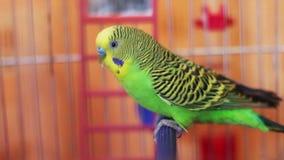 Perroquet à la maison dans une cage à oiseaux banque de vidéos